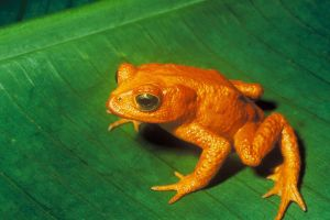 The Golden Toad, once cherished by Costa Ricans as a symbol of the country's biodiversity, went extinct in the year 1988 due to the chytrid fungus, which is now recognized as a worldwide threat to amphibians. Photo by Charles H. Smith, vergrößert von Aglarech (U.S. Fish and Wildlife Service) [Public domain], via Wikimedia Commons