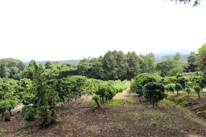 Coffee plants of various ages sit on the land of Fincos lo Chavarre, the farm owned by Felicia Ruiz Barrantes and her husband. This plantation was her fathers and became hers when he died.