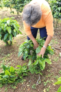 Felicia Ruiz Barrantes, coffee farm owner, inspects some of her plants. She said that last year her farm was infected with roya and she is still treating some of the plants. © 2013 Nicole Thill