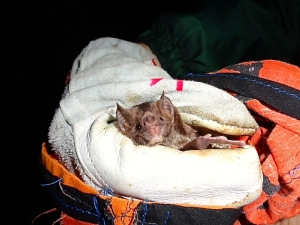 Caught in a mist-net, or a bat trap, this is one of the common bat faces seen in Monteverde