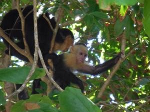 A group of capuchin monkeys perches safely in the trees in the Manuel Antonio National Park, relatively safe from dangerous roads.